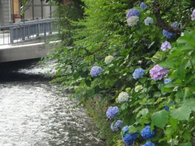 紫陽花、鞍月用水